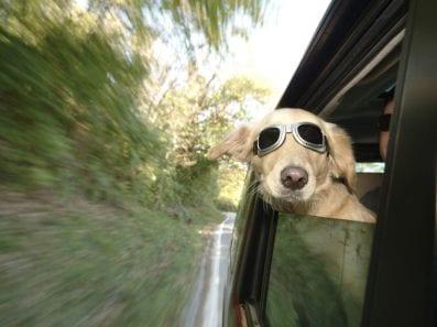Animais de estimação no carro
